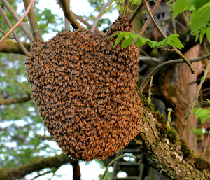 Example of Honey Bee Swarm. Save the Bees!