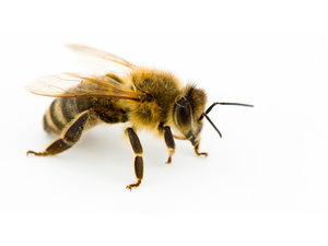 Example of a honey bee