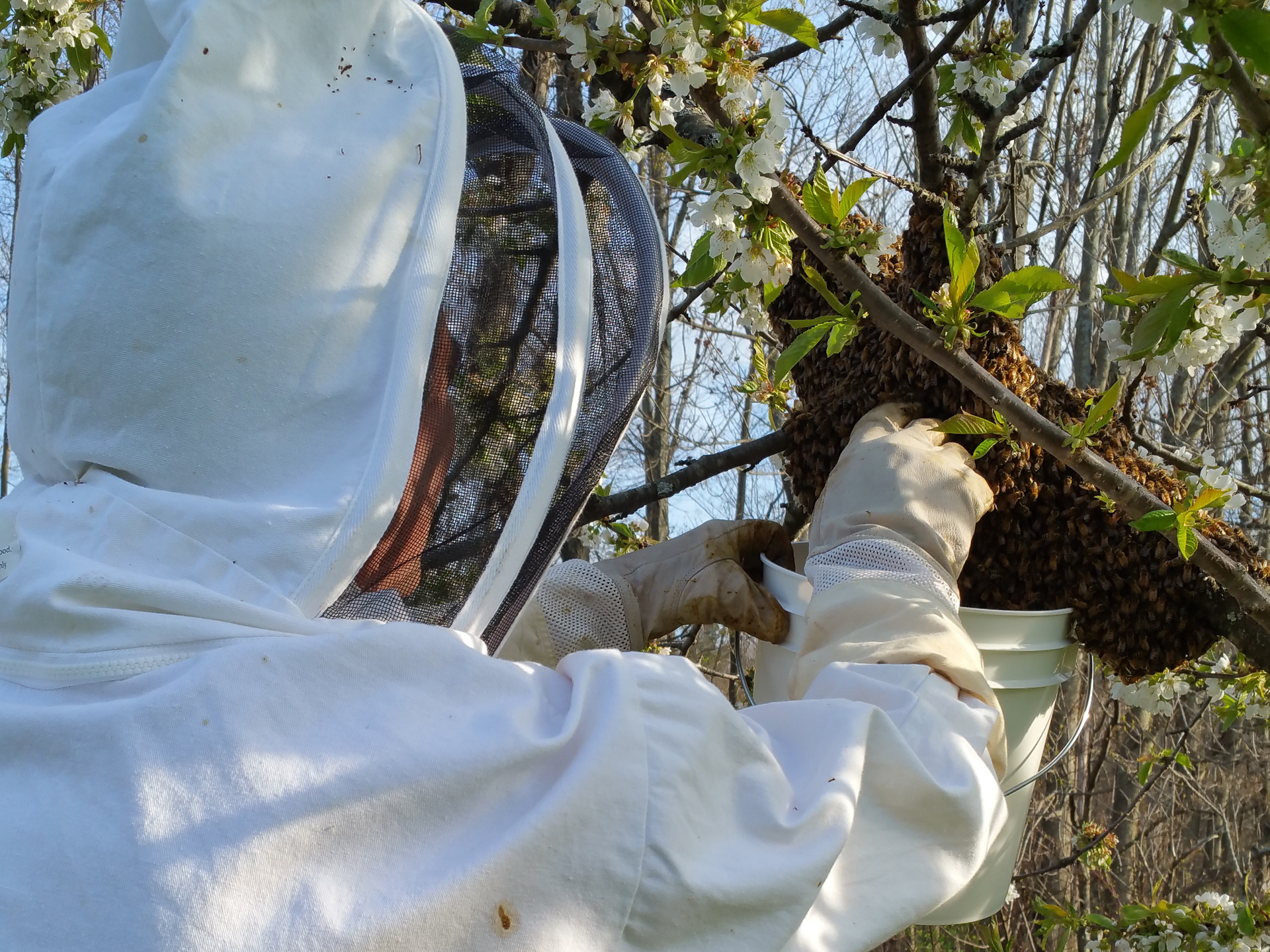 honey bee swarm removal