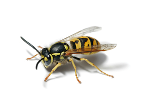 This is a Yellow Jacket - It is NOT a honey bee. Yellow Jackets are jerks.